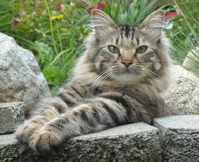 Maine Coon Cat Kittens For Sale In Nh