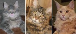 may maine coon cat pictures