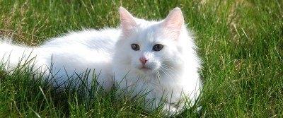 soft white norwegian forest cat