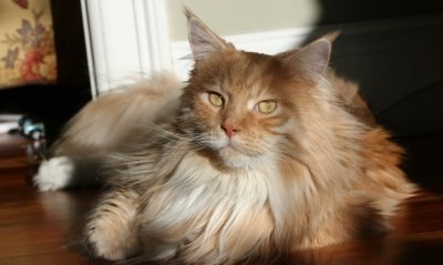 pretty red tabby maine coon cat in the sunshine