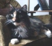 audrey the calico maine coon mix