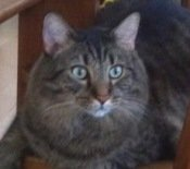 brown-tabby-maine-coon-cat