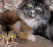 two maine coon cats
