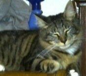bratt-the-maine-coon-cat