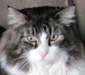 bubba the maine coon cat