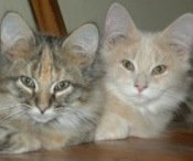 two-maine-coon-kittens