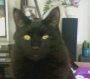 fluffy the black maine coon mix