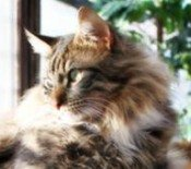 classic brown and white maine coon cat