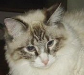 jake-the-maine-coon-mix