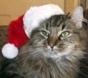 kiki the maine coon at christmas time