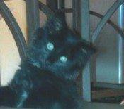 leonidas the black maine coon kitten