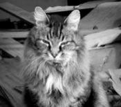 classic maine coon cat