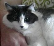 rita the maine coon cat