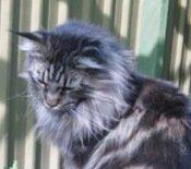 sarah the maine coon cat