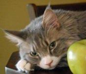 sasha the maine coon cat