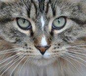 simon-the-maine-coon-cat