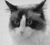 smokey the maine coon cat