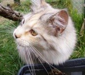 beautiful purebred maine coon cat