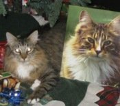 tj-the-maine-coon-cat