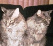 two-brown-the-maine-coon-cats