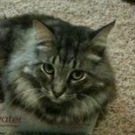 gray maine coon mix