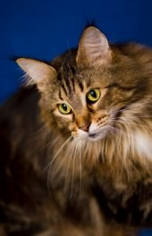 lovely brown female maine coon kitten