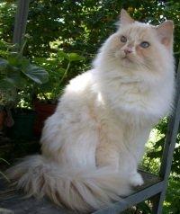 soft light colored ragamuffin cat