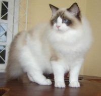 fluffy ragdoll cat with bright blue eyes