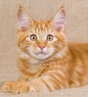 classic red tabby maine coon kitten