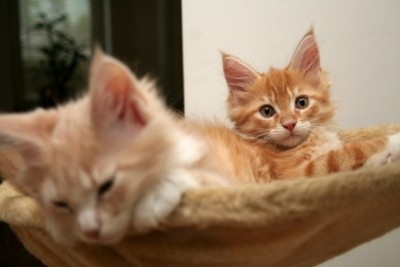 Red Tabby Maine Coon kittens