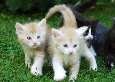 tiny red silver maine coon kittens in the grass