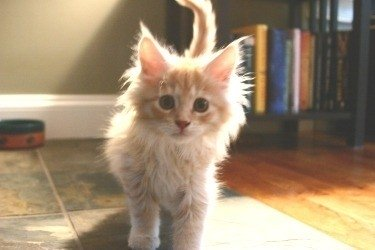 cute fluffy red tabby maine coon kitten
