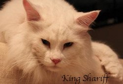 King Shariff is a nearly 30 pound Maine Coon, and quite the sweetheart
