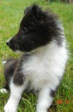 Sheltie puppy