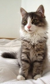 fluffy young siberian cat