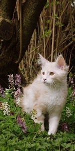 classic red silver cameo tabby maine coon kitten