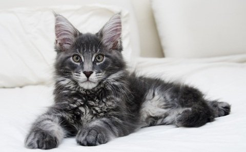 Maine coon melbourne kitten sale