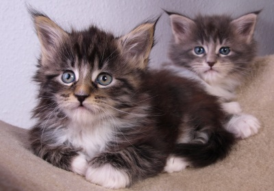 two young maine coon kittens posing cutely