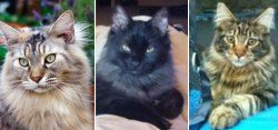 spring maine coon cat pictures