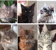 summer maine coon cat pictures