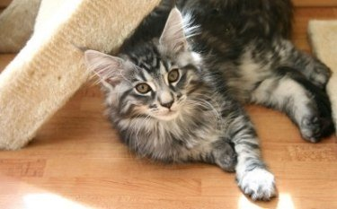 brown tabby maine coon kitten lounging in the sun