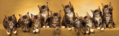 ten brown tabby maine coon kittens in a row