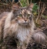 pretty torbie colored maine coon cat