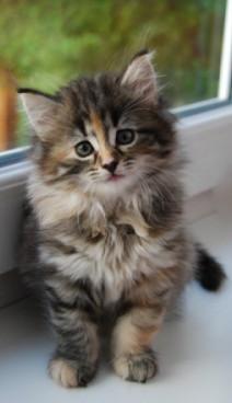 small soft fluffy tortie maine coon kitten