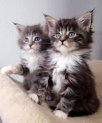 two cute young maine coon kittens