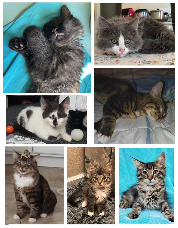 collage of maybe maine coons