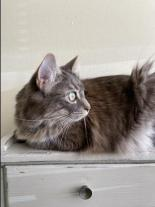 tarragon the maybe maine coon