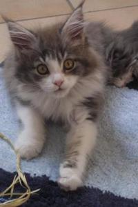 sheila the gray and white maine coon kitten