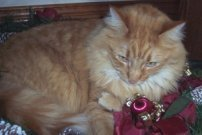 fluffy red maine coon mix