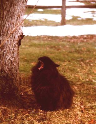 big black maine coon cat